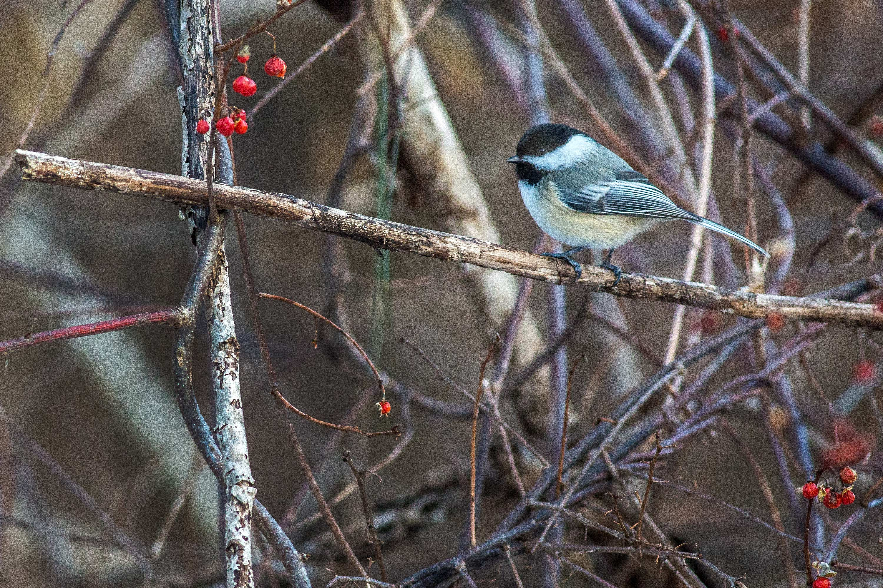 Black Capped Chickadee, Avon, CT, 1/16/15