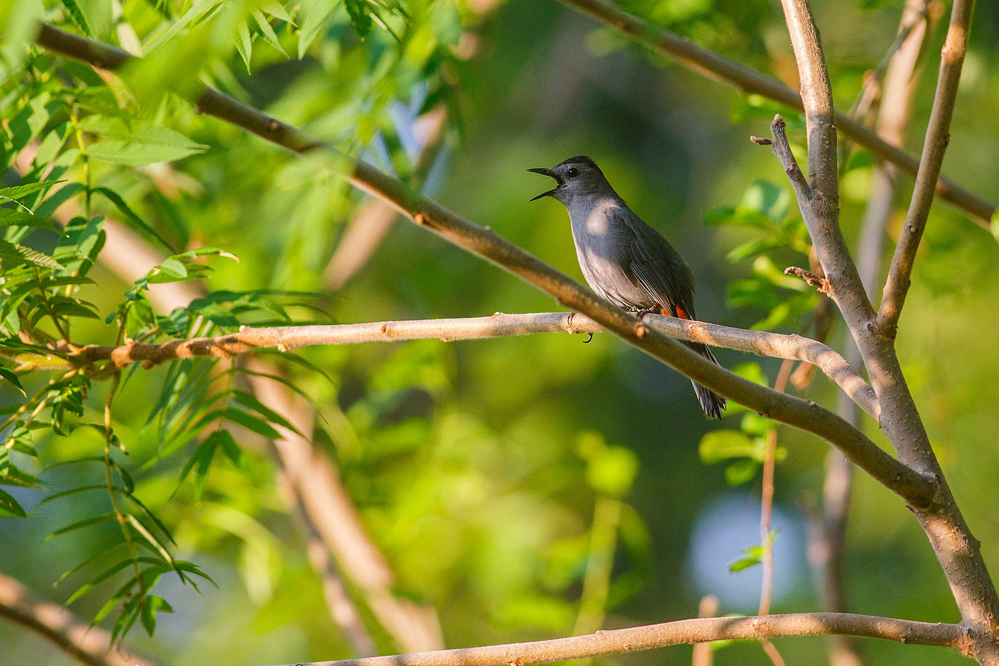 Grey Catbird, Avon, CT - 5/19/15